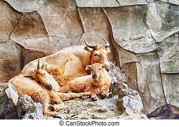 Szechwan Takin - Szechwan Takin in its natural habitat in...