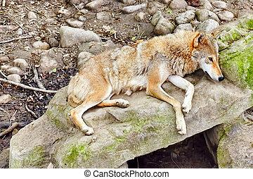 Gray wolf canis lupus - Gray wolf canis lupus in its natural...