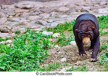Malayan sun bear(smallest bear). - Malayan sun bear(smallest...