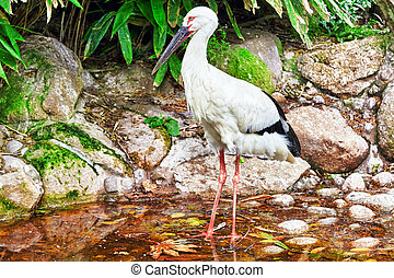 Oriental white stork - Oriental white stork in their natural...