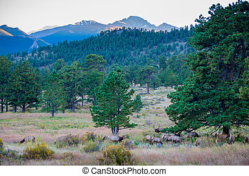 Elk Migration Rocky Mountain National Park with longs peak...
