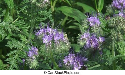Honey bee and wild bee feeding on Phacelia tanacetifolia +...