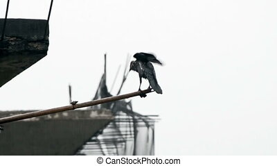 Crow washing its own body on rains