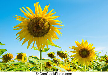 Field of yellow sunflowers with green leaves under blue...