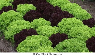 Plant bed with lettuce Lollo Rosso red and Lollo Verde green...