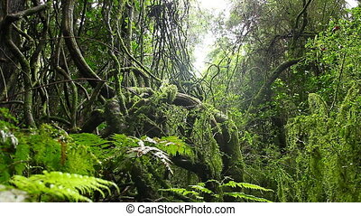 Old Growth Rainforest - Australian Landscape - This...