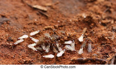 Ants - Nuptial flight 3 - Nuptial flight is an important...