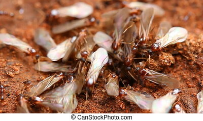 Ants - Nuptial flight 2 - Nuptial flight is an important...