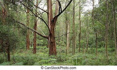 Rainforest - Australian Landscape - This rainforest...
