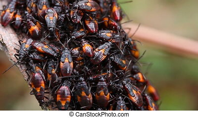 "Assassin Bug Group Molting - ""A group of Assassin Bug..."