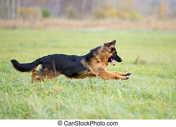 German shepherd dog long-haired jumping outdoor - German...