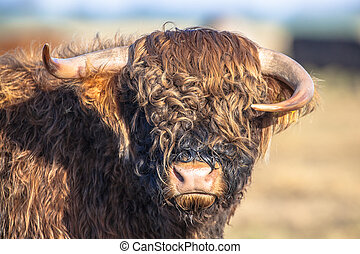 Skew horned hairy cow - Funny looking asymmetrical horns on...