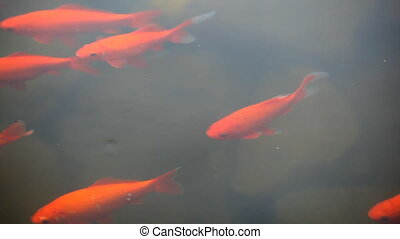 large goldfish swim in a clean pond