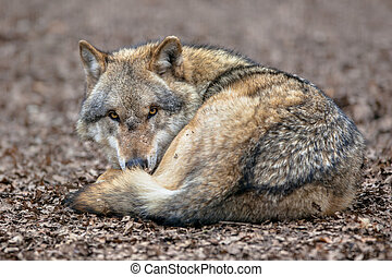 Dangerous Grey Wolf resting on the ground - Eurasian Gray...
