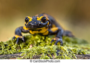 Frontal view of a Fire salamander in natural setting - The...