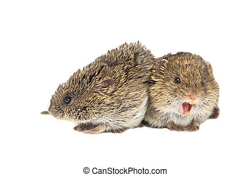 Couple of common Vole - Couple of yelling Common Vole mice...