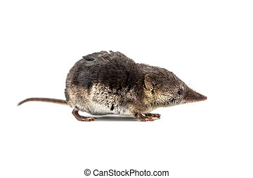 Common shrew Sorex araneus on white background - Shrews...