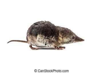 Common shrew (Sorex araneus) on white background - Shrews...