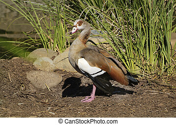 Zoology - Egyptian Goose