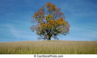 Maple tree showing the colors of au - Timelapse shot of...