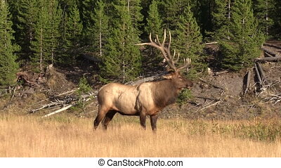 Bull Elk in Rut - a bull elk in meadow during the fall rut