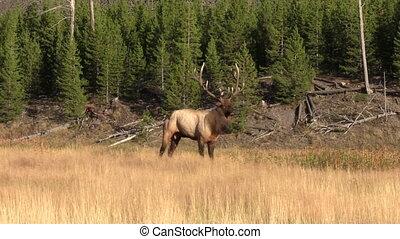 Bull Elk in Rut - a bull elk in meadow during the fall rut