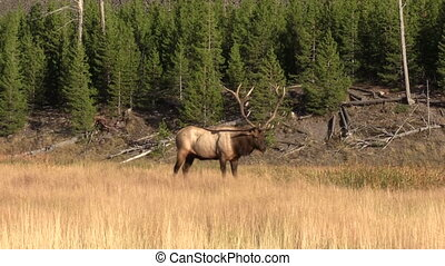 Bull Elk - a bull elk in meadow during the fall rut