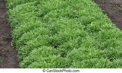 Green lettuce plants in a row, Lactuca sativa var. foliosa + zoom out