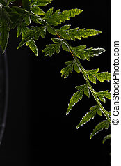 fern - Green Fern Frond on Black Background