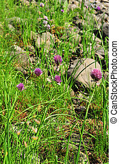 Wild onion - Blooming wild onion that grows on the Putoran...
