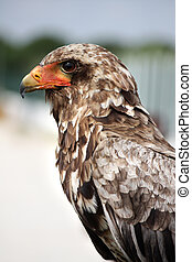 Bateleur Eagle - Close up view of a juvenile bateleur eagle