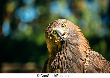 Eagle Haliaeetus albicilla on green grass background - Close...