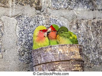 three parakeets hugging - three colorful parakeets hugging...