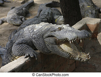 Crocodile on a crocodile farm in Chennai, India