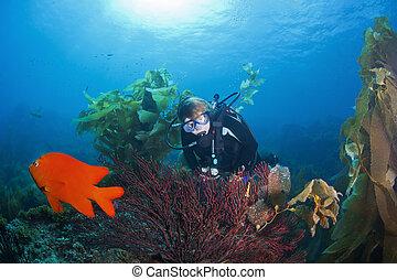 escafandra autónoma, buzo, y, gorgonian, coral,
