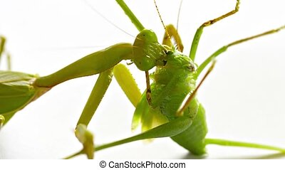 Praying Mantis Eating a Grasshopper