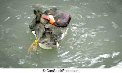 Duck Preening in the Water in Ayutthaya, Thailand - Video...