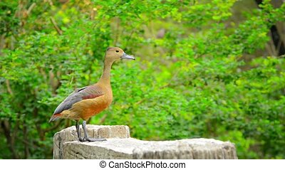 Solitary Lesser Whistling Duck Posing for Picture -...