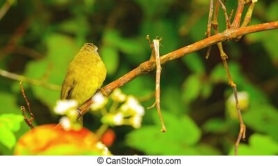 Oriental White Eye Bird near Chiang Mai, Thailand -...