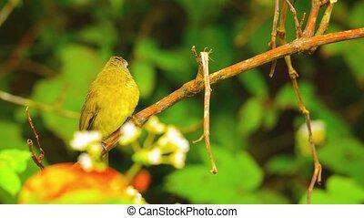 Oriental White Eye Bird near Chiang Mai, Thailand -...