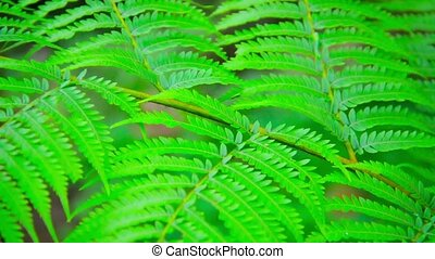 Compound Leaves on a Wild Plant in Thailand - Video 1080p -...