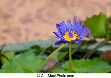 A water flower also called a lotus - in a pond surrounded by...