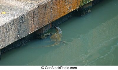 Wild Water Monitor Lizard in a River in Bangkok, Thailand