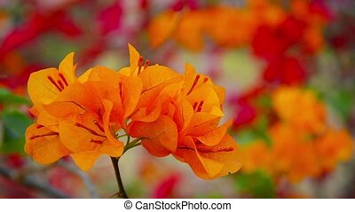 Cluster of Orange Bougainvillea Flowers at Ayutthaya...
