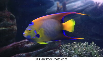 Koran angelfish in beautifully decorated Marine Aquarium.