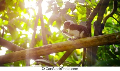 Cotton Top Tamarin Monkey Eating at the Zoo