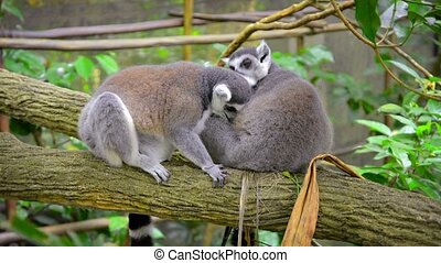 Pair of Ring-Tailed Lemurs Grooming Each Other at the Zoo -...
