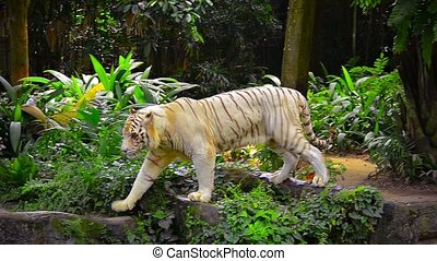 White Tiger in his Habitat at a Zoo - FullHD video - Male,...