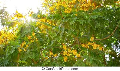 Yellow Flame Tree fluttering and swaying in a moderate...