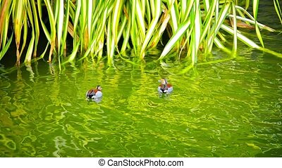 Colorful Ducks with Patterned Plumage Swimming on a Garden...